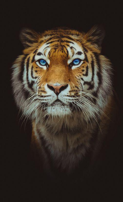 Tiger Desktop For Iphone