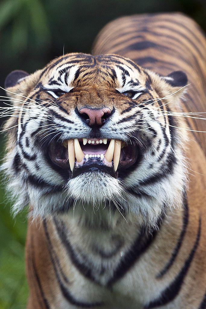 Tiger Free Download Wallpaper For Mobile