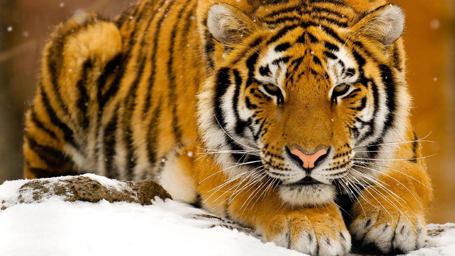 Tiger For Desktop