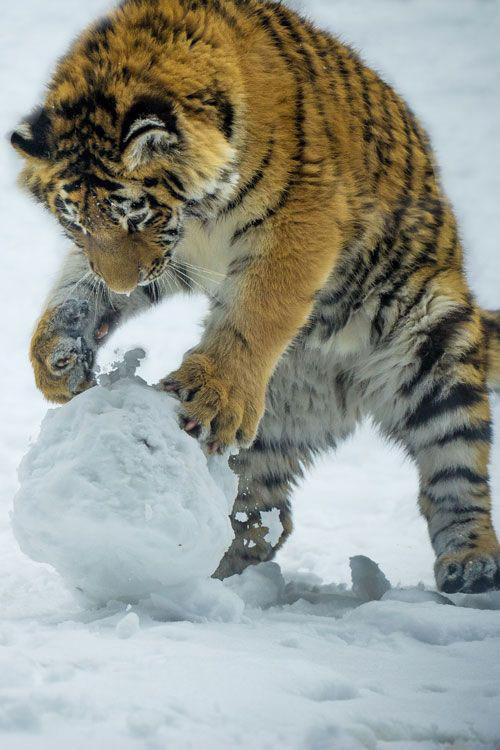 Tiger For Smartphone
