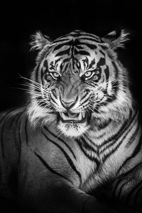 Tiger Iphone Images