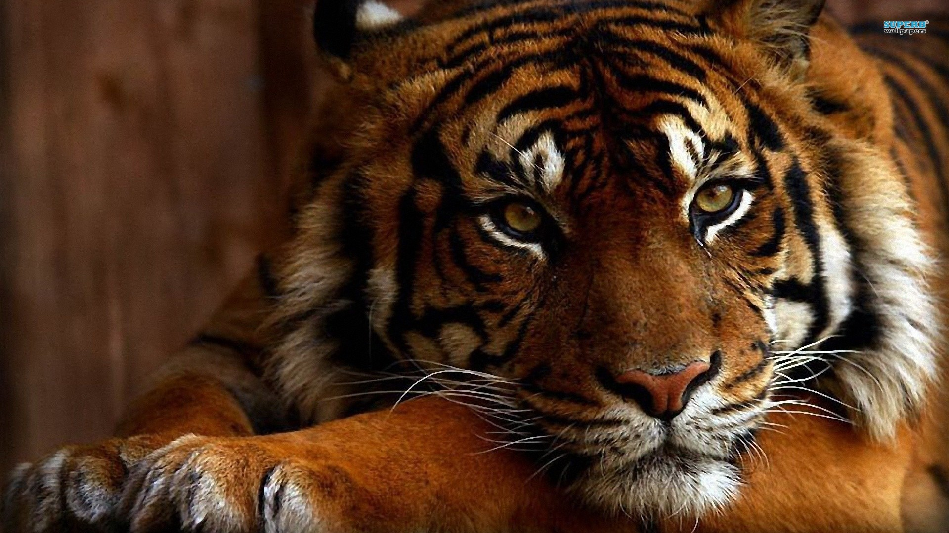 Cool Tiger Backgrounds