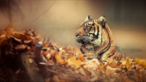 Pictures Of A Tiger