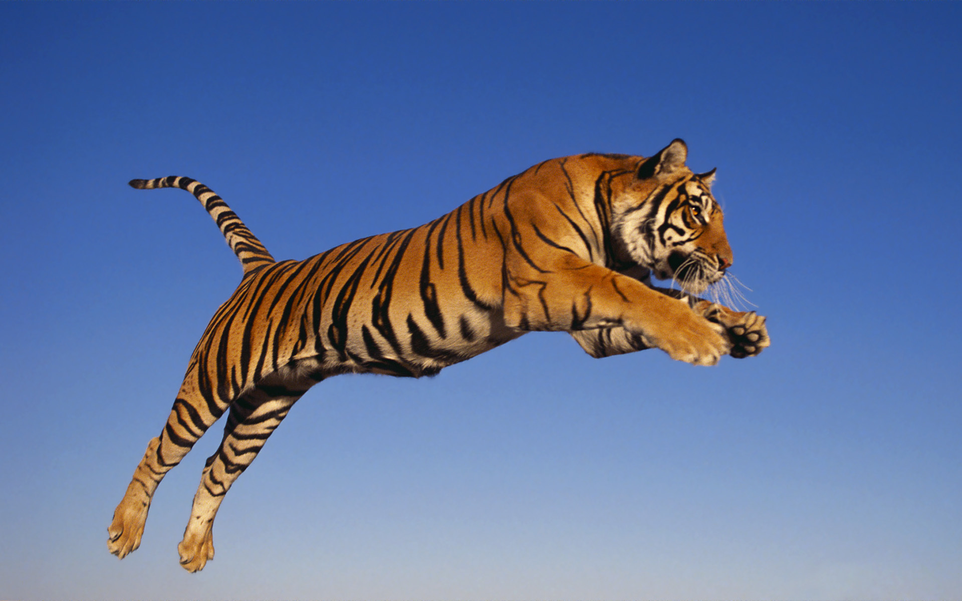Tiger Backgrounds