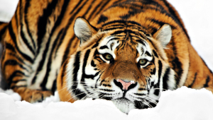 Tiger Eyes Photo