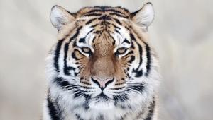 Tiger Image Hd