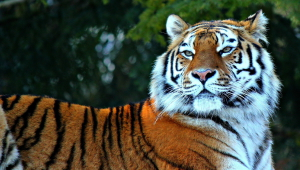 Tiger Photos