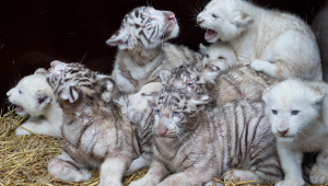 Baby White Tiger Wallpaper For Desktop