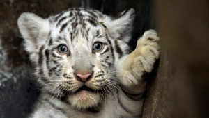 Cute Newborn White Tiger