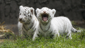 Cute White Tiger Baby Action Wallpaper