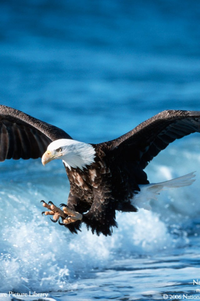 Eagle Free Download Wallpaper For Mobile