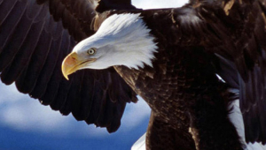 Eagle High Quality Wallpapers For Iphone