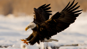 Eagle Photos