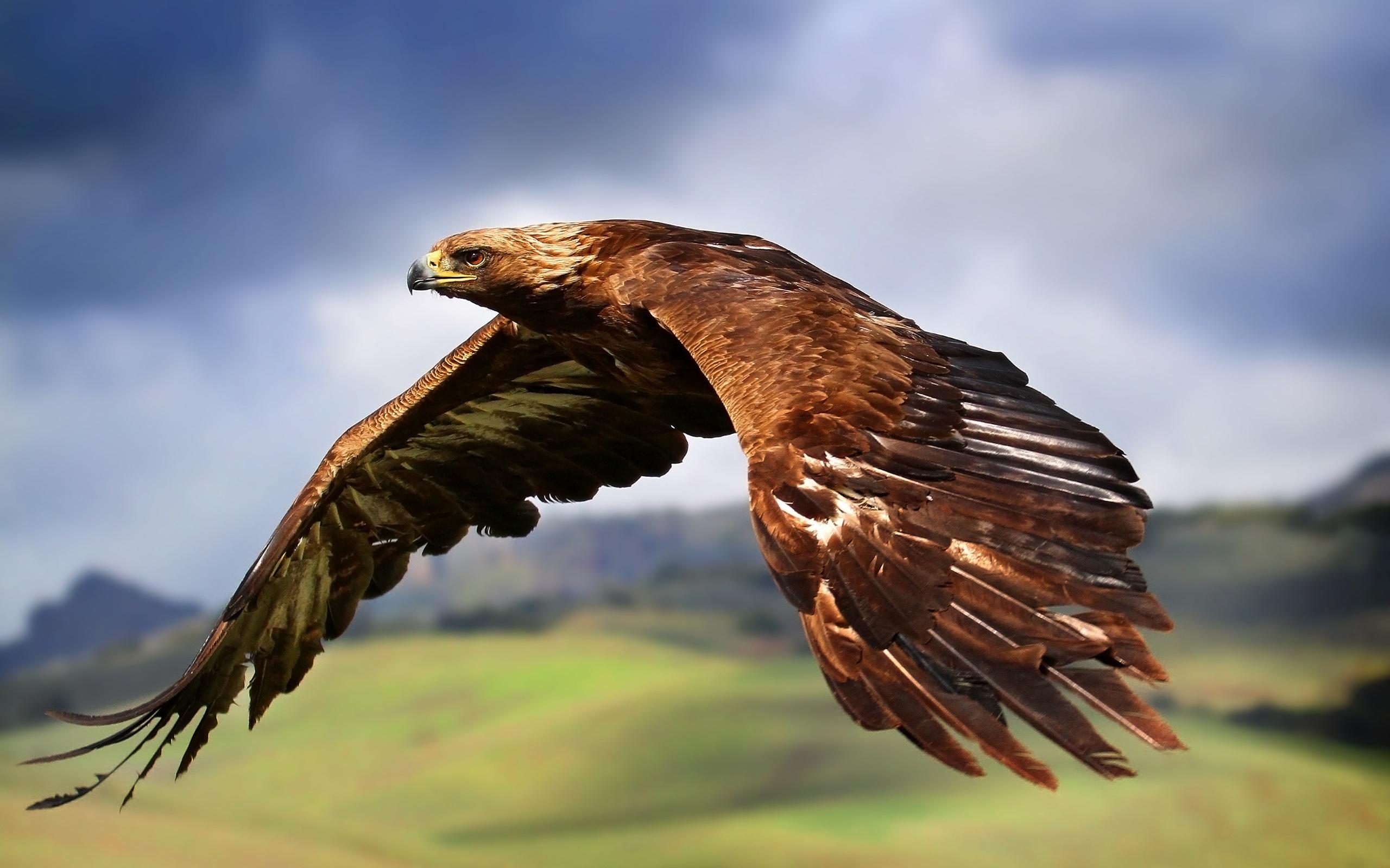 Eagle Wallpapers HD