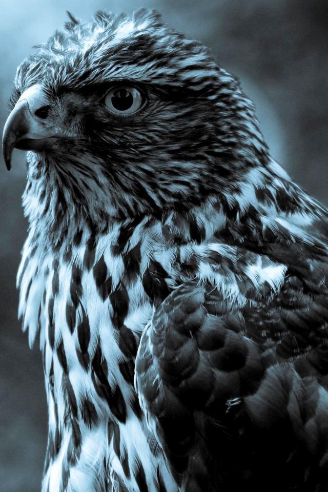 Eagle Iphone HD Wallpaper