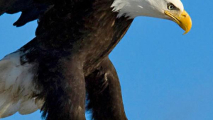 Eagle Iphone Images