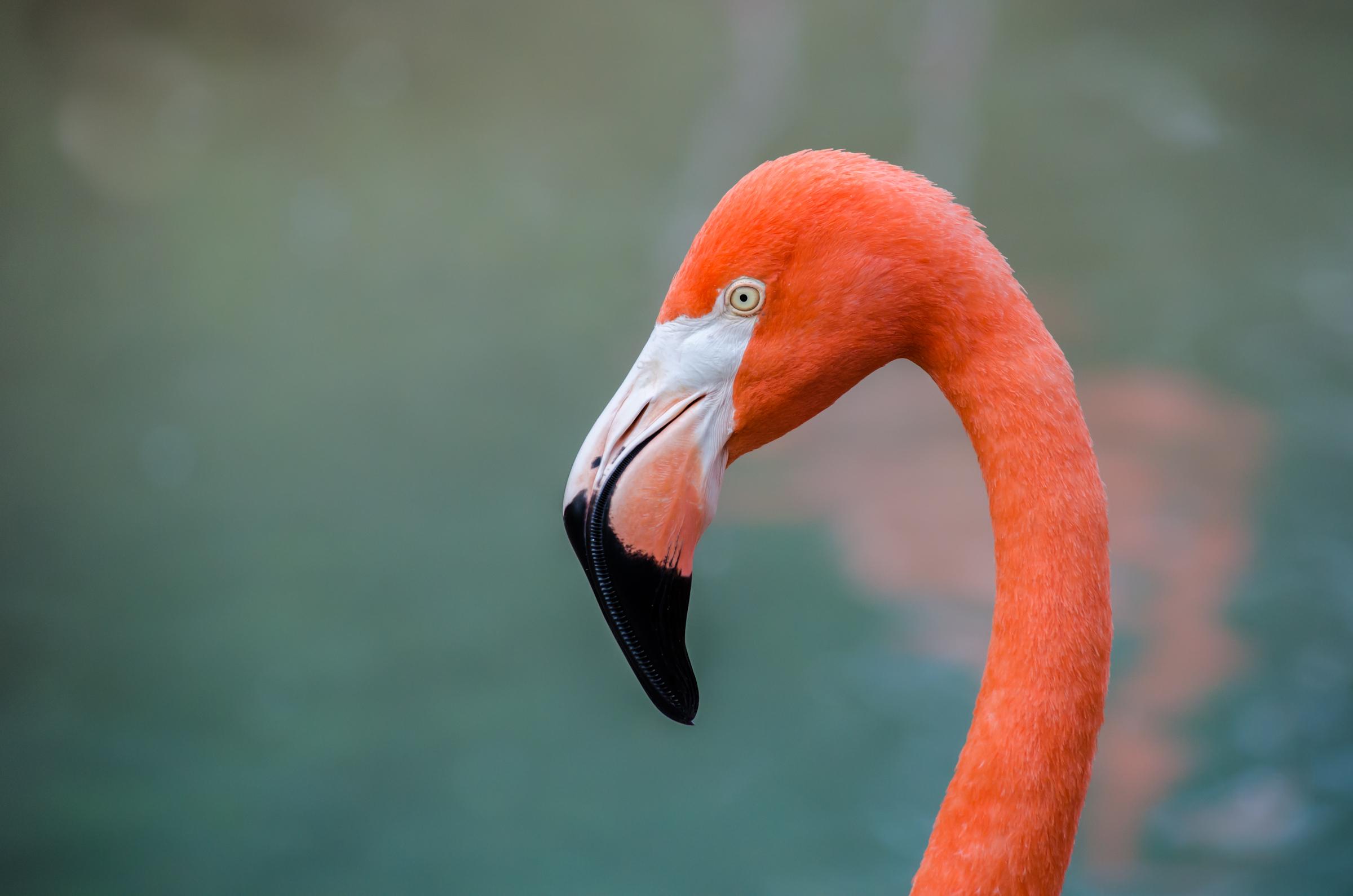 Flamingo Computer Wallpaper