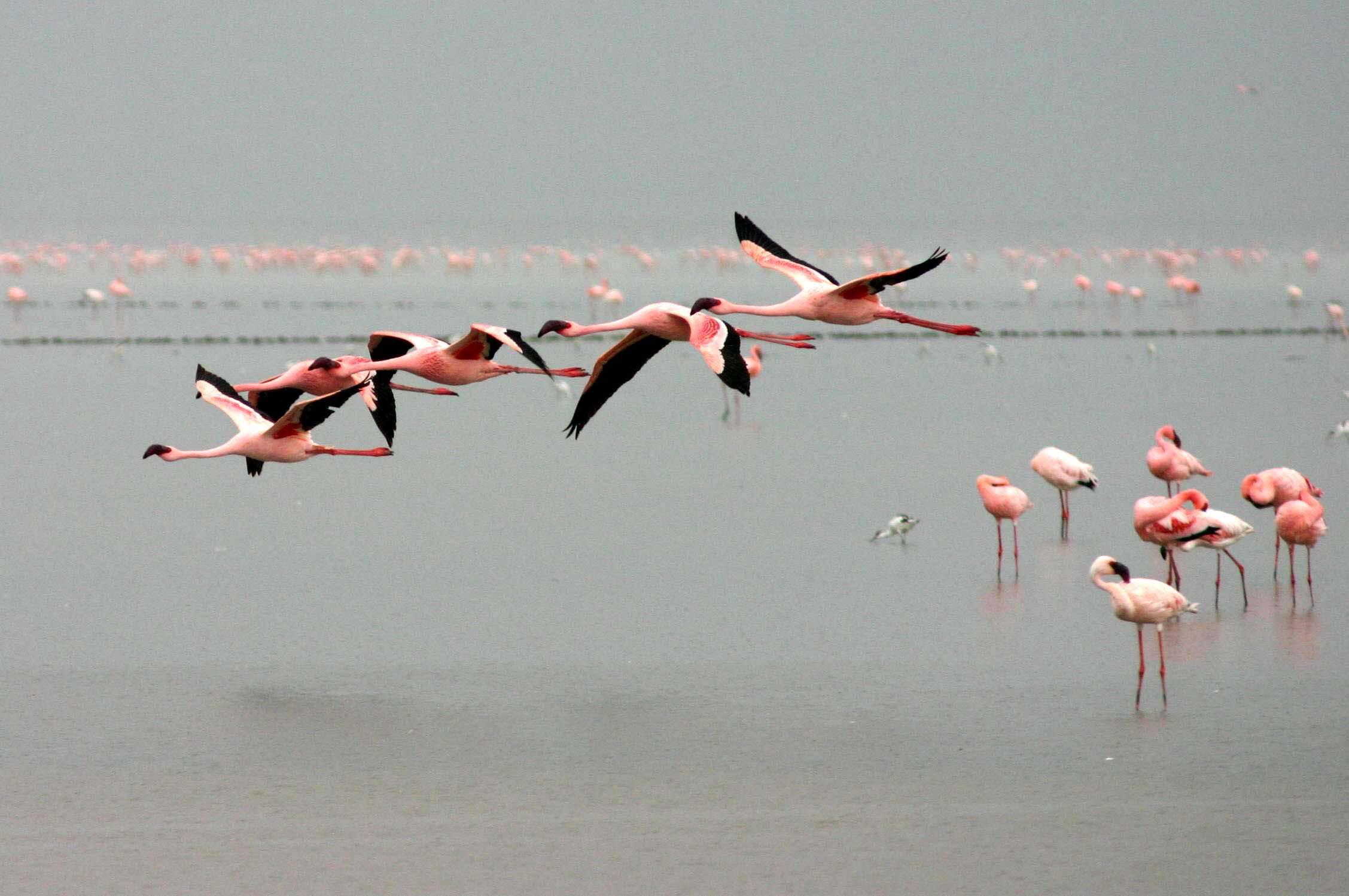 Flamingo HD