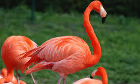 Flamingo HD Background