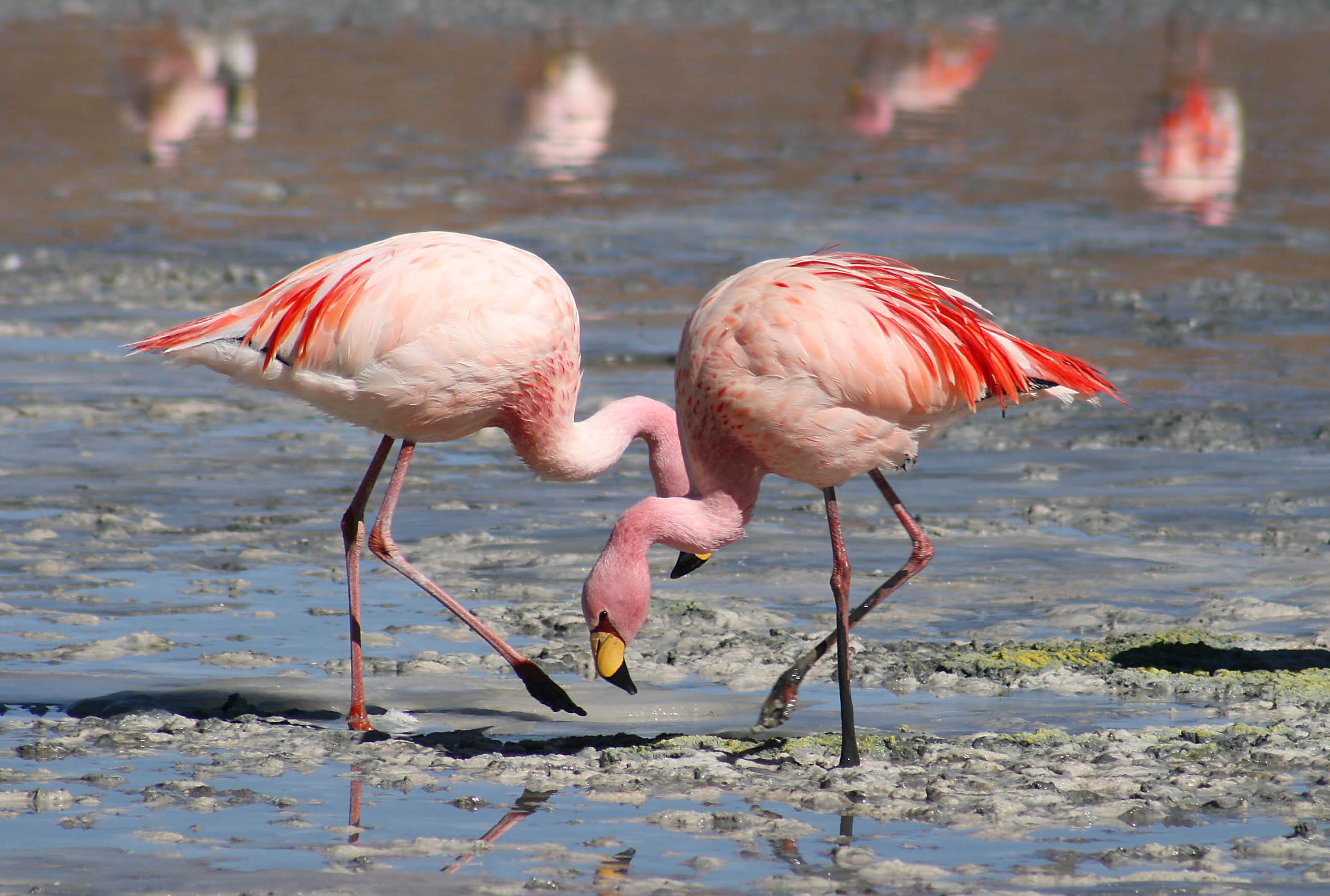 Flamingo HD Desktop