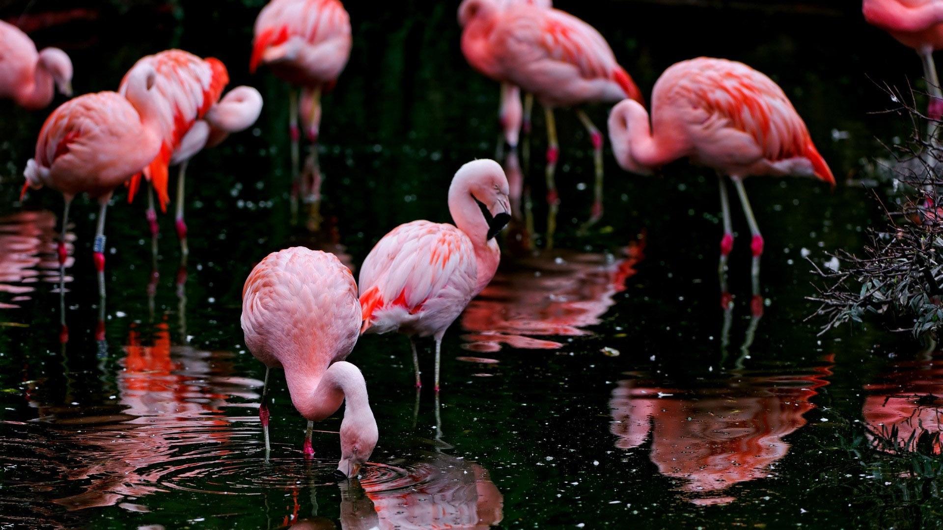 Flamingo HD Wallpaper