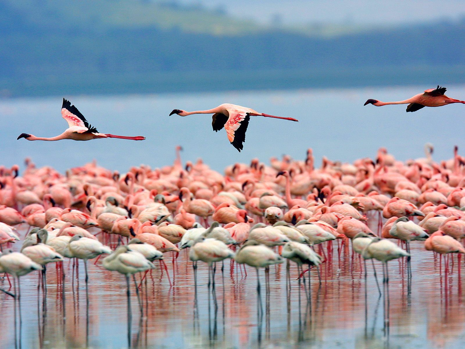 Flamingo High Definition Wallpapers