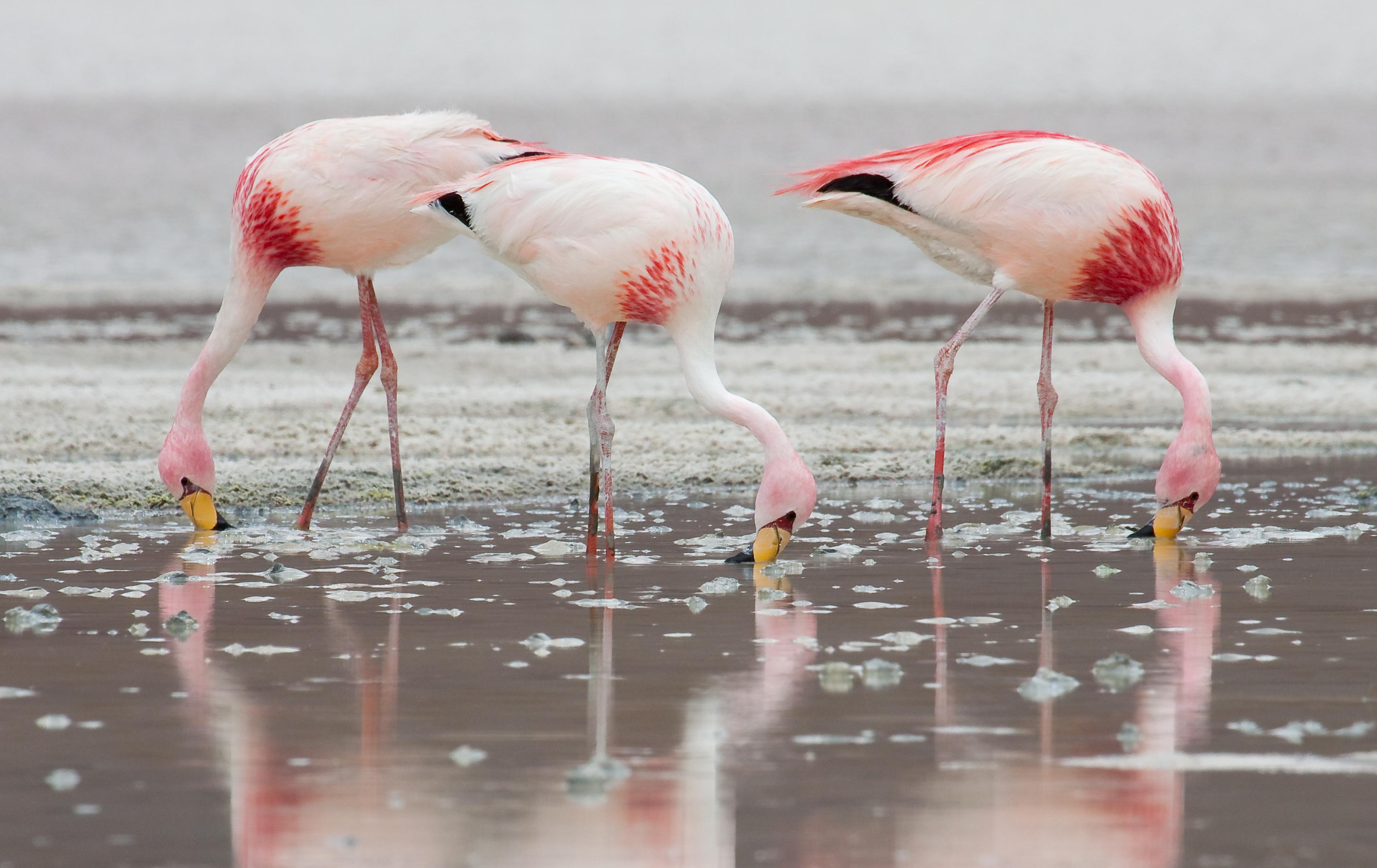 Flamingo For Desktop