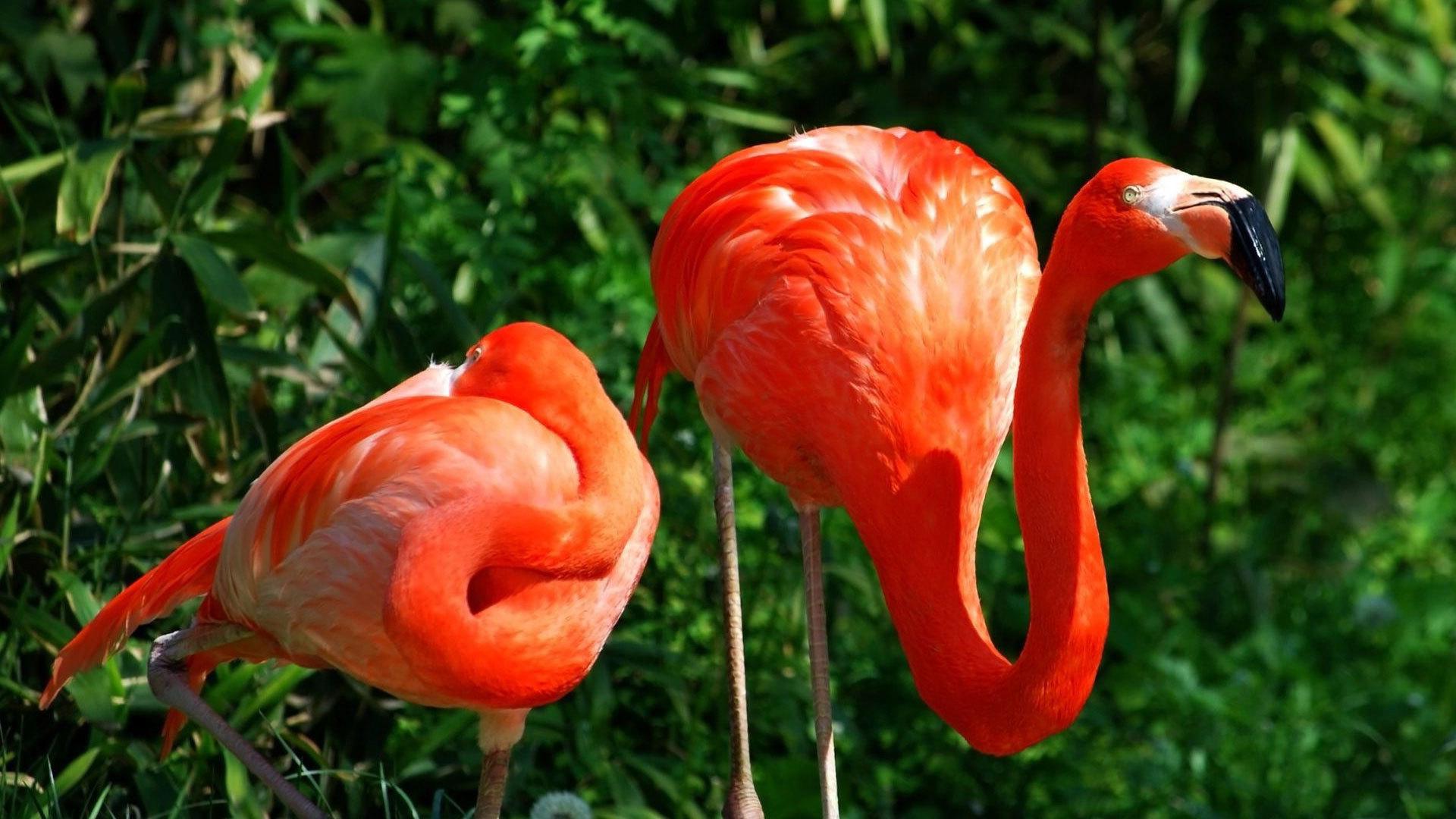 Flamingo Full HD