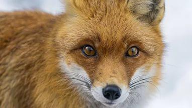 Fox HD Background