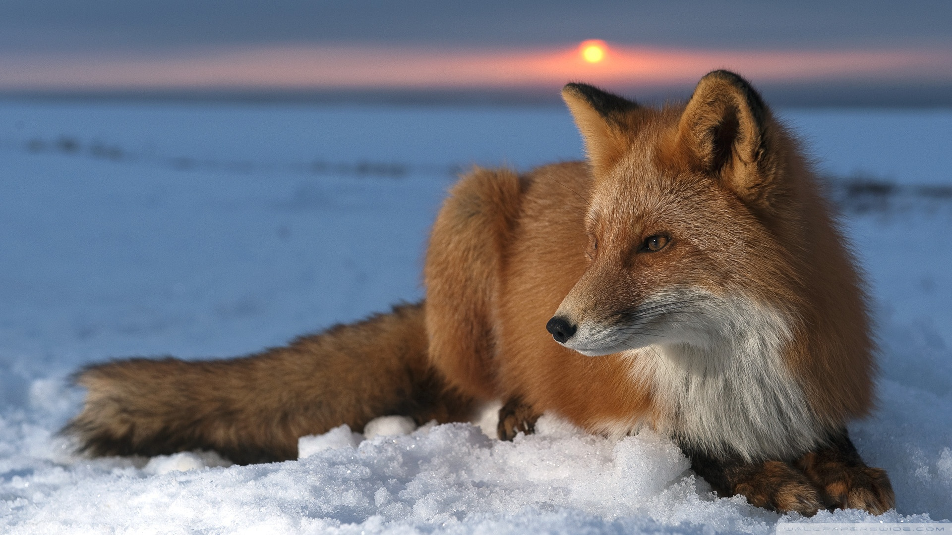 Fox HD Wallpaper