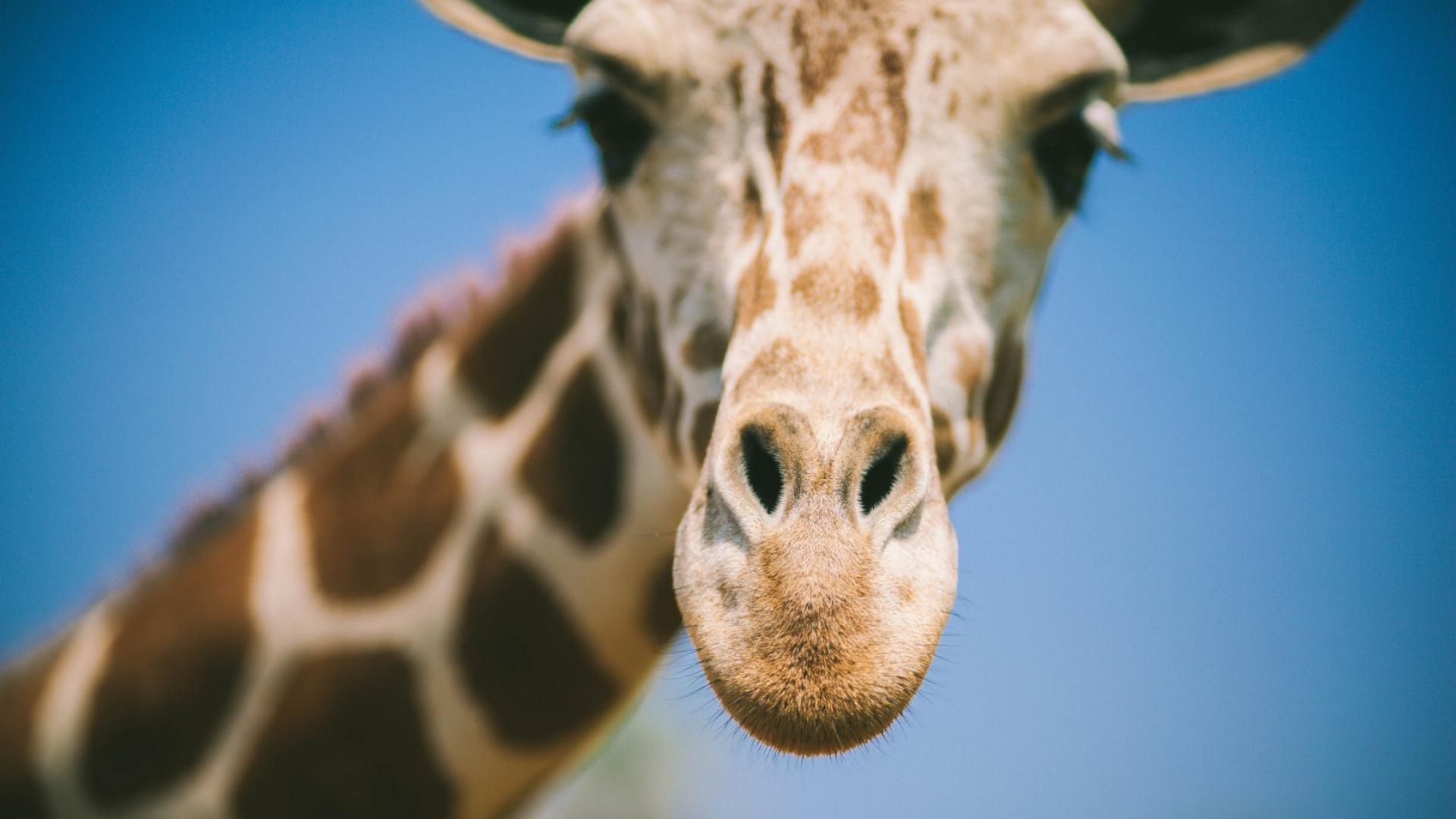 Giraffe Computer Backgrounds