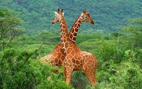Giraffe Desktop Images