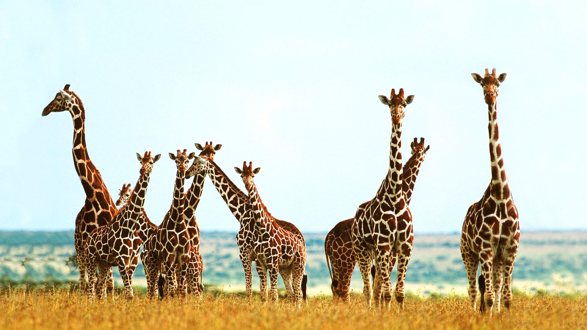 Giraffe Desktop Wallpaper