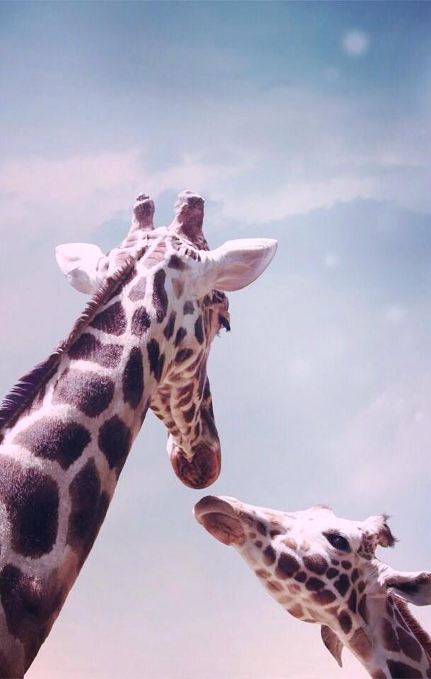 Giraffe Free Download Wallpaper For Mobile
