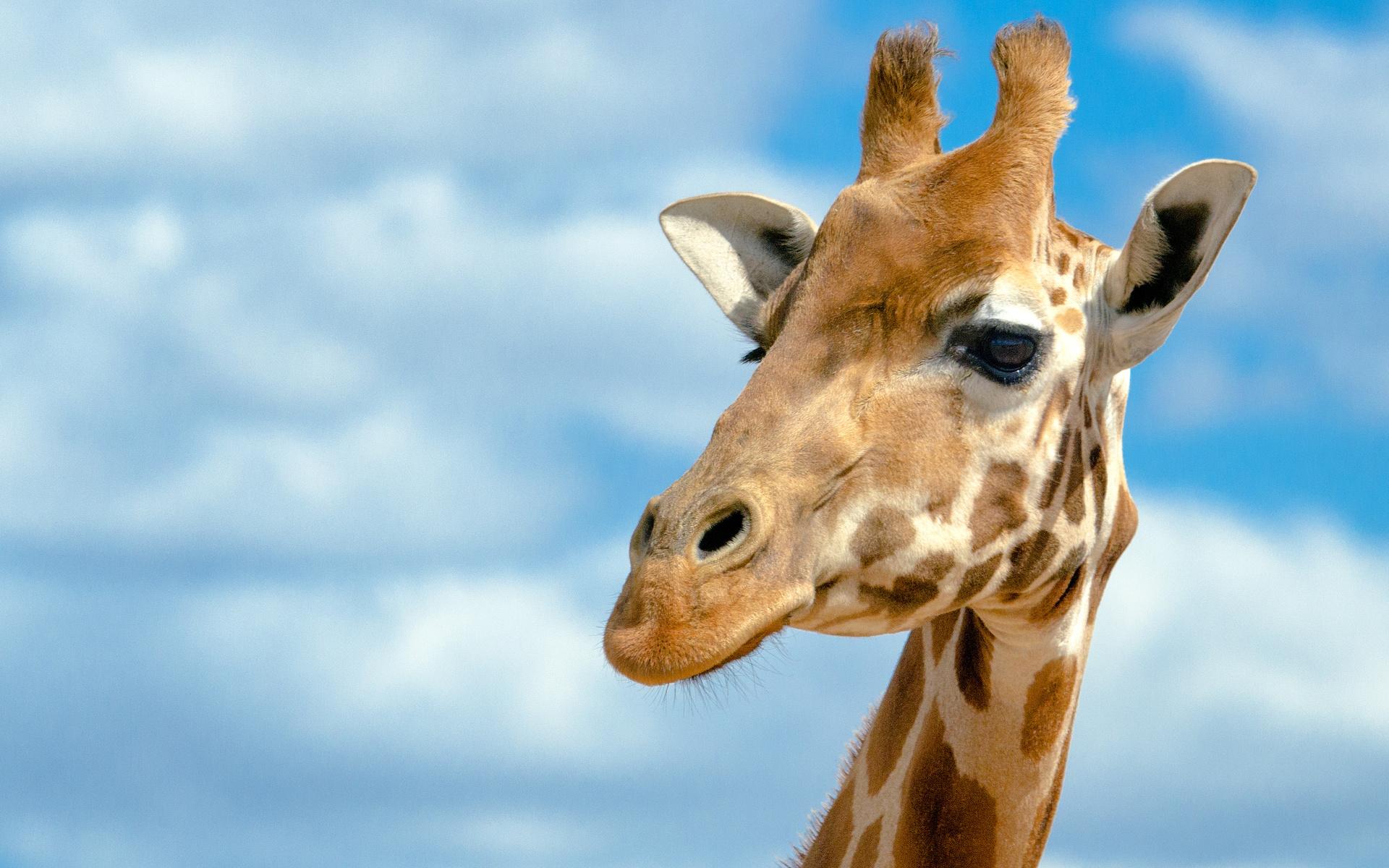 Giraffe HD Wallpaper