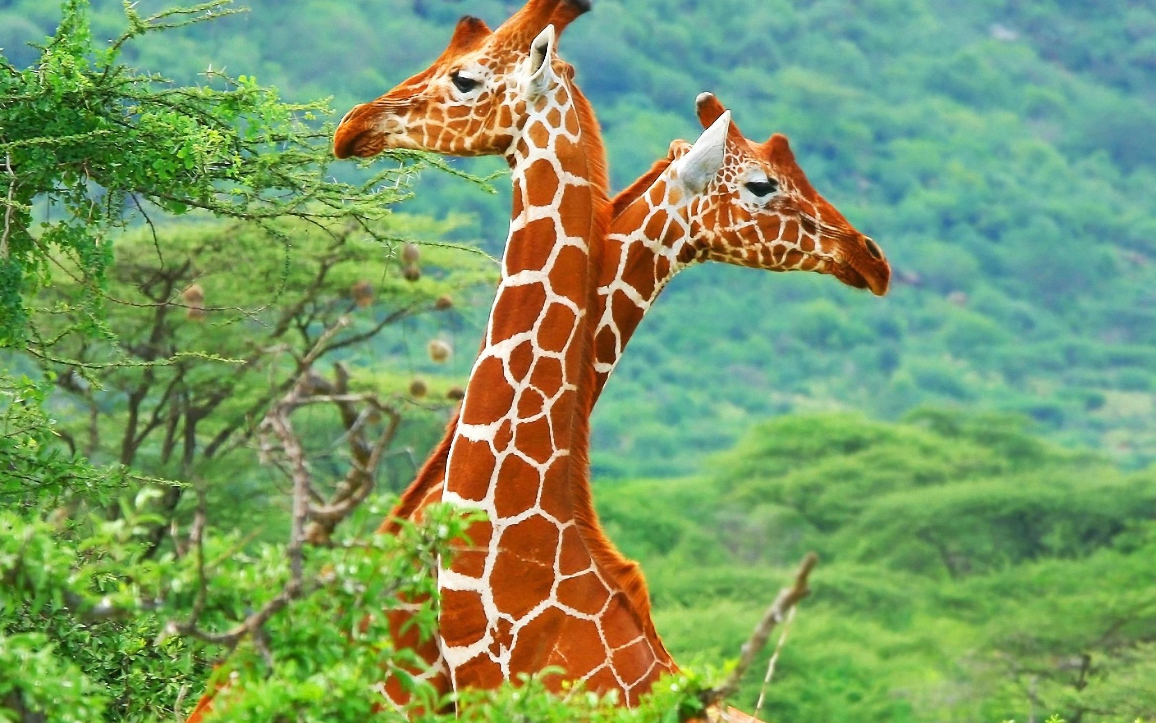 Giraffe High Definition Wallpapers