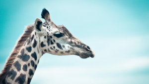 Giraffe High Quality Wallpapers