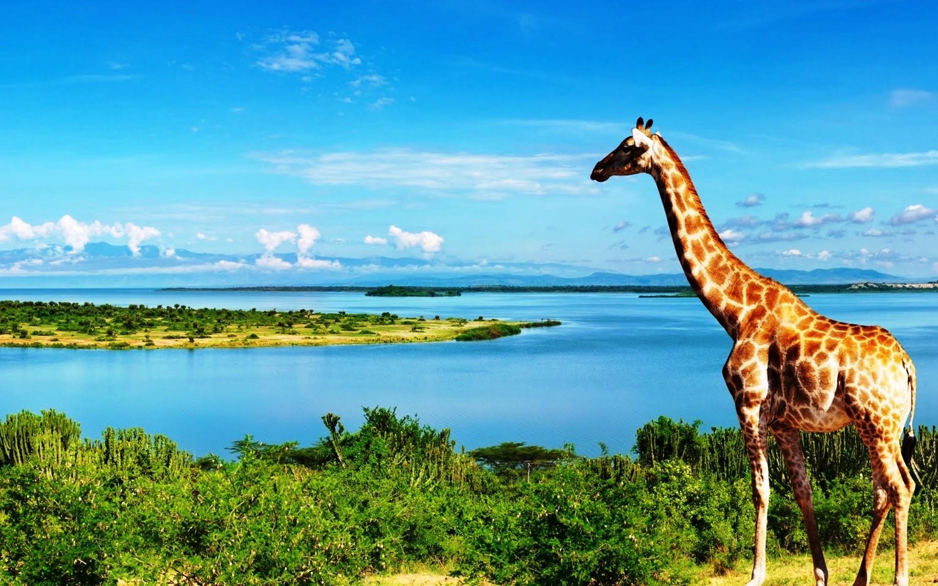 Giraffe For Desktop Background