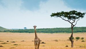 Giraffe Full HD