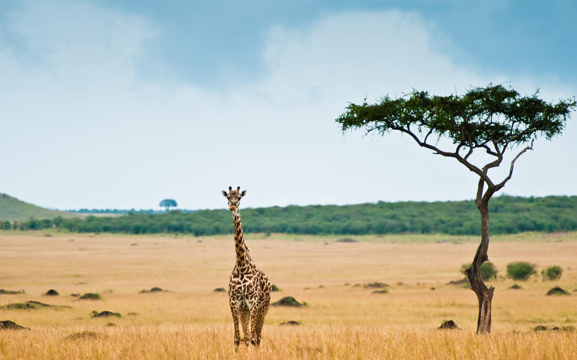 Giraffe Full HD