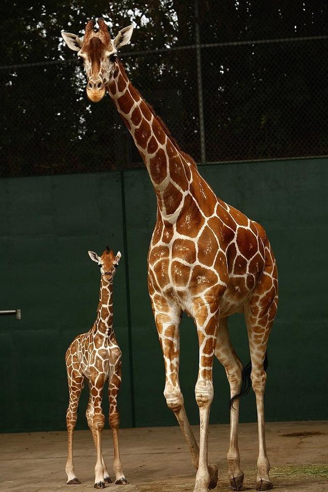 Giraffe Iphone Background