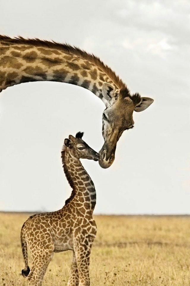 Giraffe Iphone HD Wallpaper