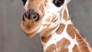 Giraffe Iphone Images