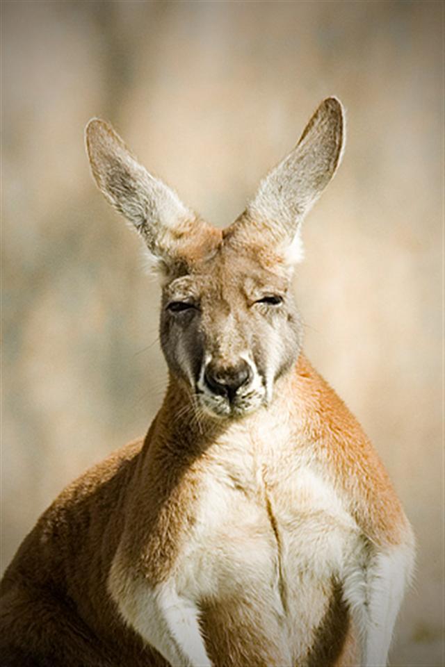 Kangaroo Android Wallpapers