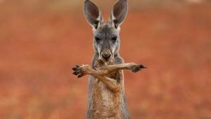 Kangaroo Computer Backgrounds