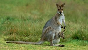 Kangaroo Desktop Wallpaper