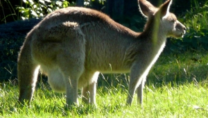 Kangaroo Download