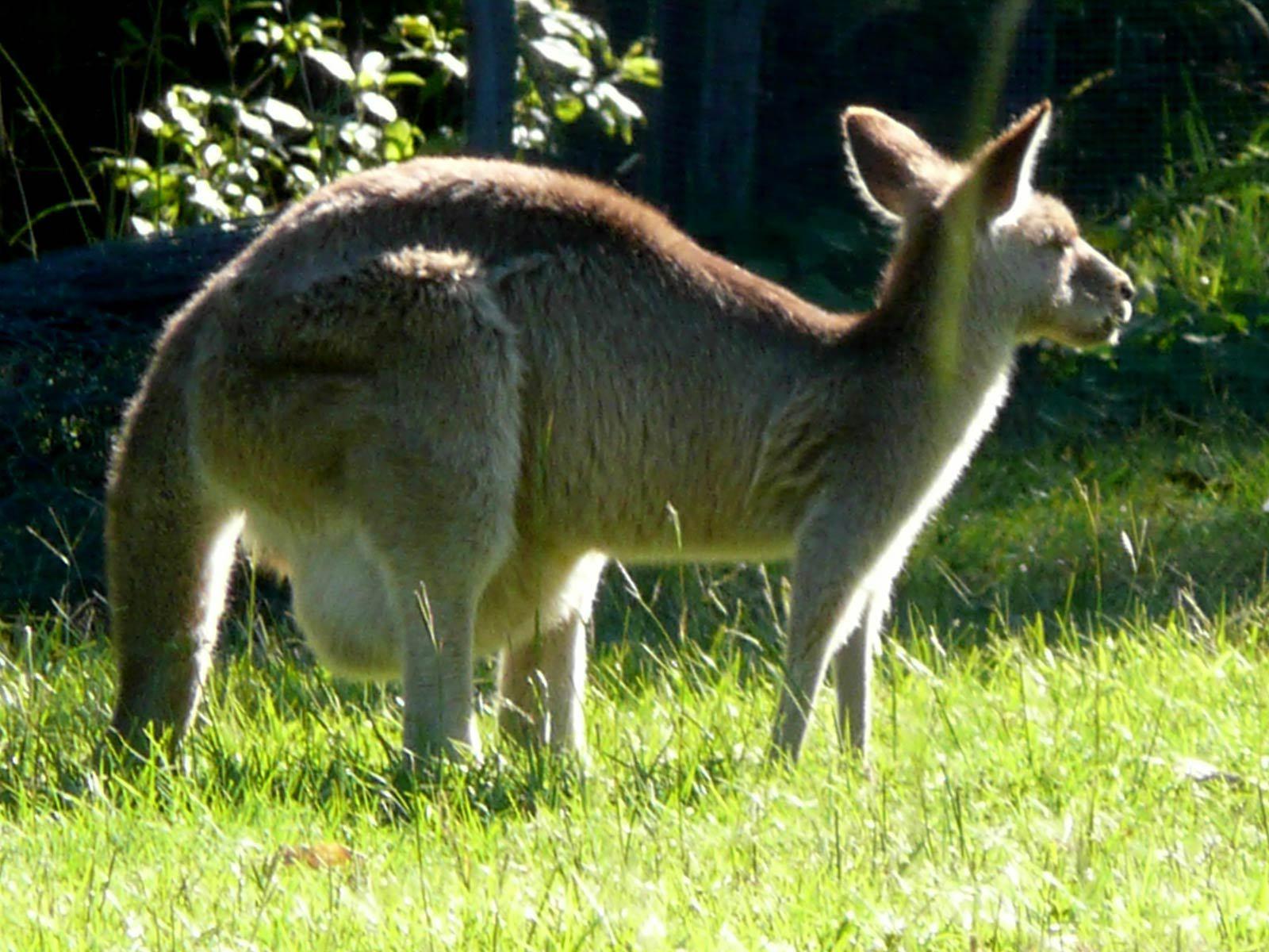 Kangaroo Download
