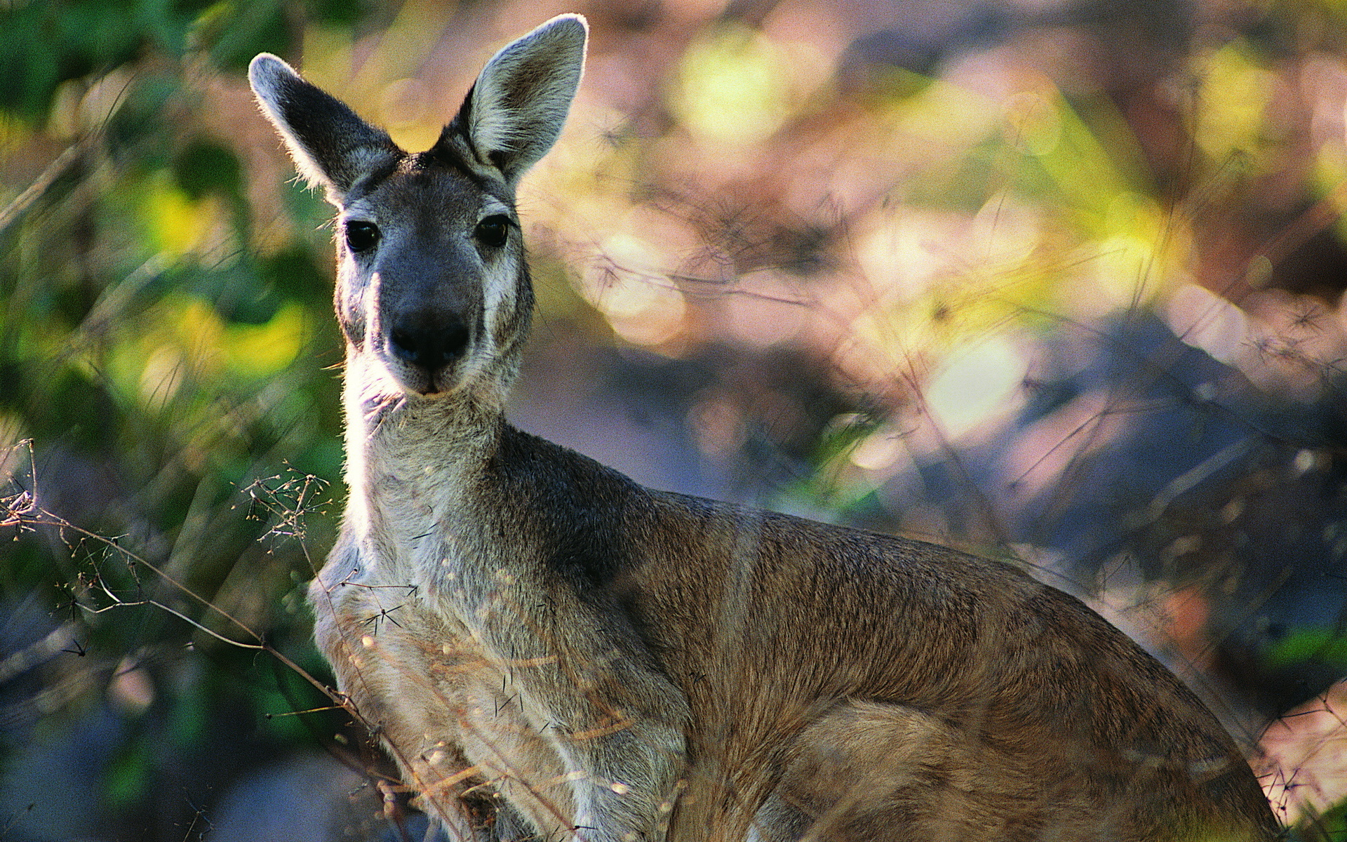 Kangaroo Free Download