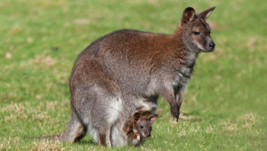 Kangaroo Free HD Wallpapers